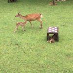 奈良公園 赤ちゃん鹿公開