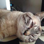 猫の3つめのまぶた、瞬膜